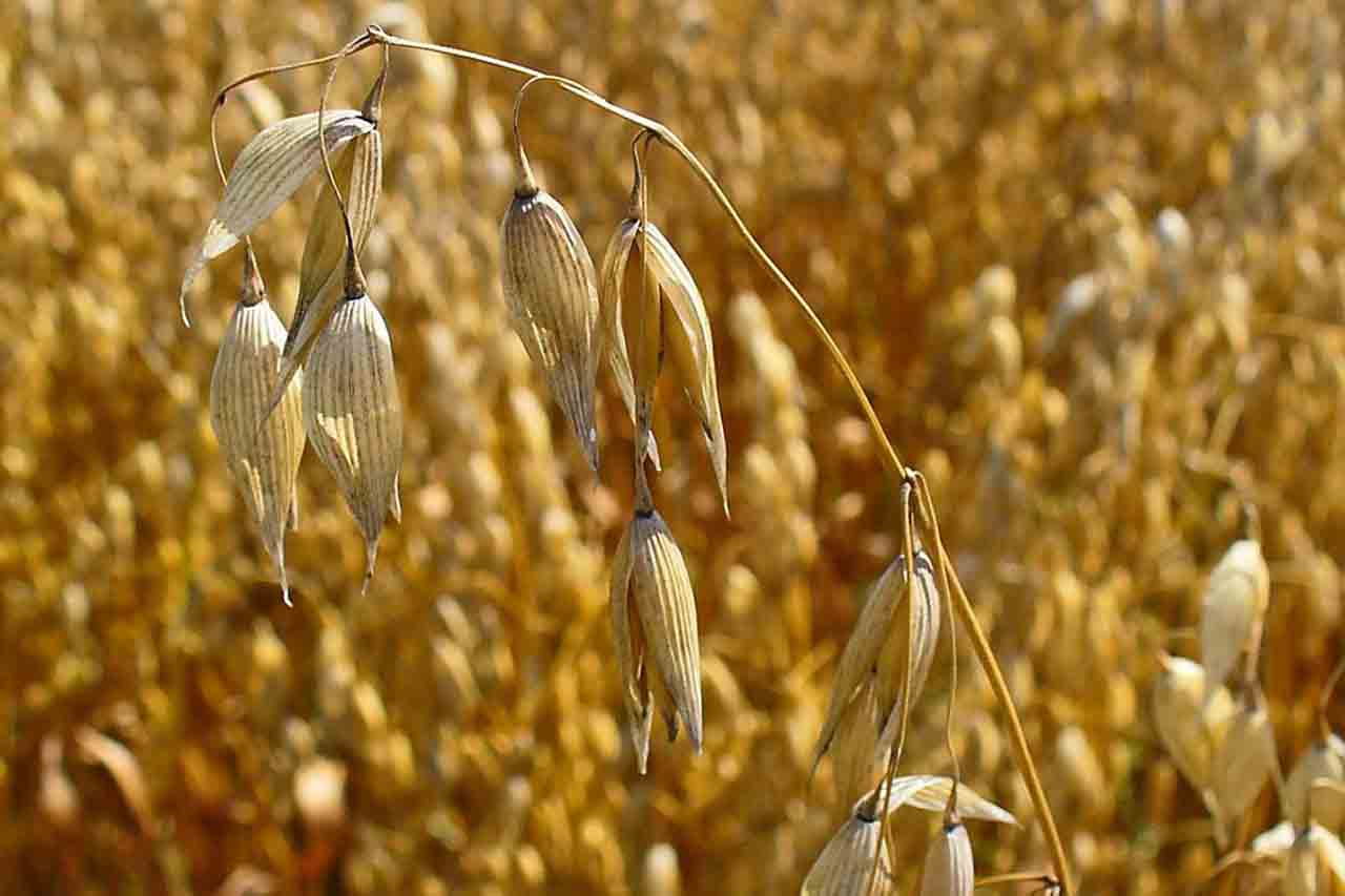 oats - Laura's Idea